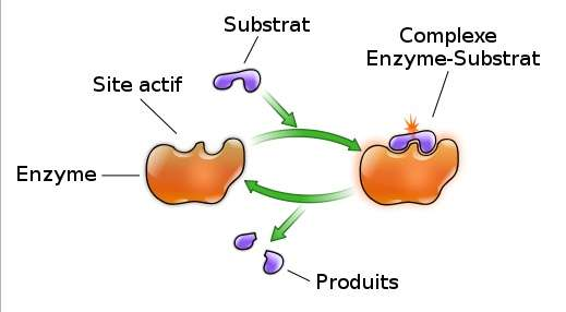 Fonctions des enzymes digestives